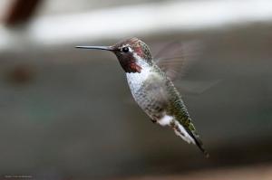 hummingbird number 2